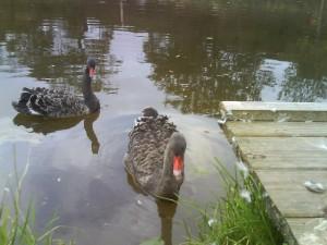 20091027 2095599023 swans