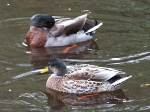 duck-photo-4